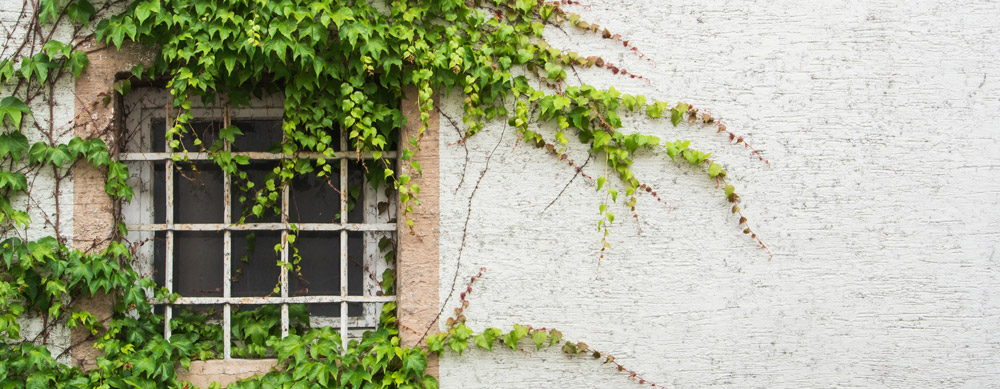 Window covered with grape leaves